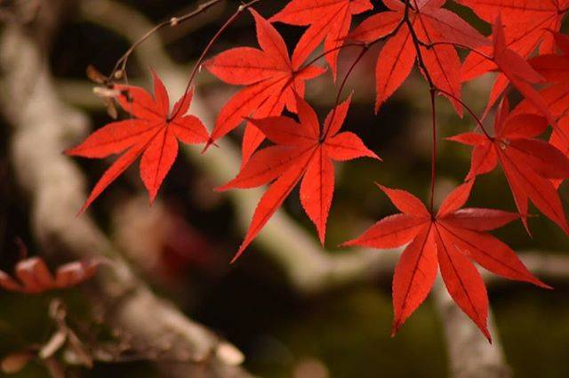 真っ赤な可愛い手のひらみたいな紅葉の葉