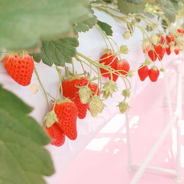 """HIYORI on Instagram: """"♡東京ストロベリーパーク🍓いちご狩りのところは床がピンクで施設もピンクだらけで幸せでした... #東京ストロベリーパーク #いちご #いちご狩り #いいね返し #strawberry #fff #flf"""" (58631)"""