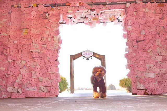 """ゆうきち on Instagram: """"とかちとかちへ行くの巻♪*゚ . ピンクの世界 えろえろ💕 . #きょうのとかちさん  #トイプードル #とかち  #わんこ #わんこ部 #ふわもこ部  #toypoodle #dog #dogs  #わんこなしでは生きていけません会  #わんこ大好き  #tommade…"""" (73034)"""