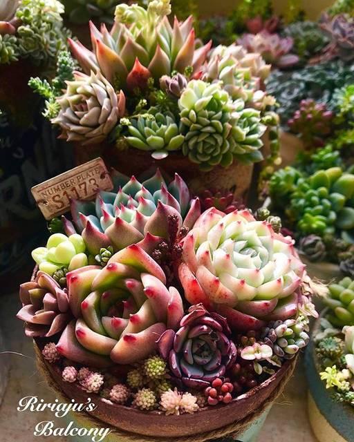 """Ririan on Instagram: """"何度も登場のikuraちゃんの寄せ植え😊✨ 爪が赤くなって可愛い😍❤️ 後ろのマノンに花芽がニョキッ🌱ニョキッ🌱 #succulents #succulenta #succulovers #succulover #succuholic #多肉植物 #多肉植物寄せ植え…"""" (74040)"""