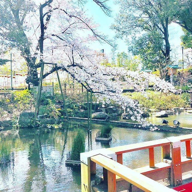 """千穂 CHIHO on Instagram: """"・ 街中の桜が話しかけてくるので、うかれてます♪  今朝から、通りすがりの外国人観光客カップルの欧州6組・アジア2組のSAKURA背景写真をお撮りして(← 良い人!笑) 🌸 なぜか、お高そうな大きなKOI(鯉)がこわいぐらいに私に寄り、モテてます^^…"""" (79686)"""
