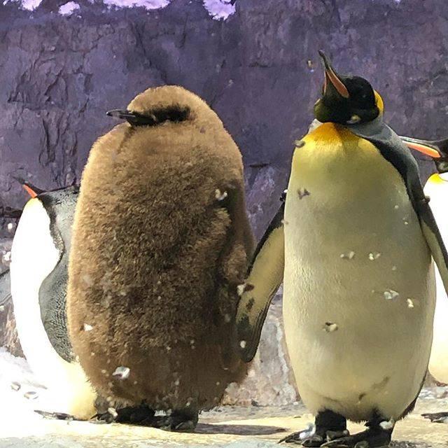 """ひろっち on Instagram: """"オウサマペンギンの赤ちゃん(左)飼育員さん達は「ぼた餅」と呼んでいるそうな。バックヤードに、「おはぎ」も居るんだって…#海遊館#オウサマペンギン#ぼた餅"""" (79961)"""