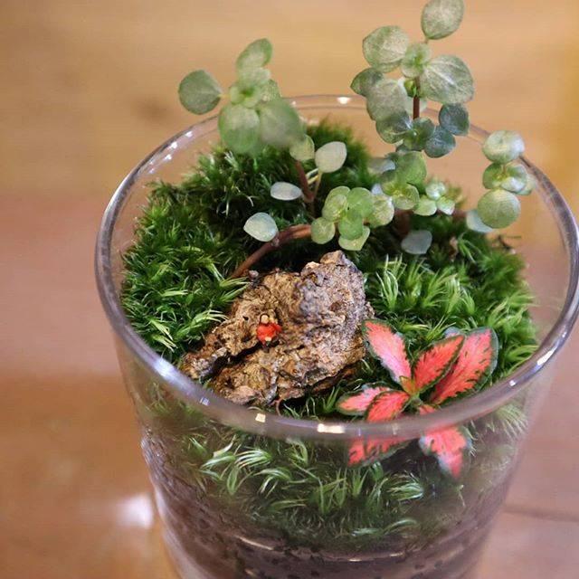 """moss+PlantsStore on Instagram: """"コケリウム🌱 ・ 大阪は今日、明日ともに 30℃を越えるみたいです💦 熱中症対策をしっかりして お出かけ下さいね☺️! ・ ・ ・ #苔 #moss #苔リウム #コケリウム #苔テラリウム #コケテラリウム #テラリウム #terrarium #パルダリウム…"""" (82762)"""