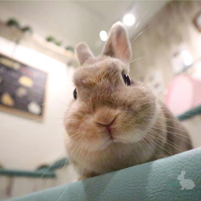 """rabbitcafe うさぎパラダイス on Instagram: """"のぞき顔がキュート🐰💖 . Look at my cute face🐰💖 . #うさぎカフェ #うさぎパラダイス #うさぎ  #もふ部 #ふわもこ部  #うさぎ部 #うさぎら部  #うさぎ好き #うさんぽ #うさぎのいる生活  #うさすたぐらむ #ふわもこ部うさぎ  #かわいい…"""" (93377)"""