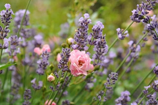 Free photo: Rose, Lavender, Green, Flower - Free Image on Pixabay - 1545188 (11352)