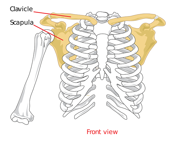 Clavical Scapula Shoulder - Free vector graphic on Pixabay (85818)