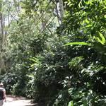 緑がいっぱい!ロコのようにマノアを散策