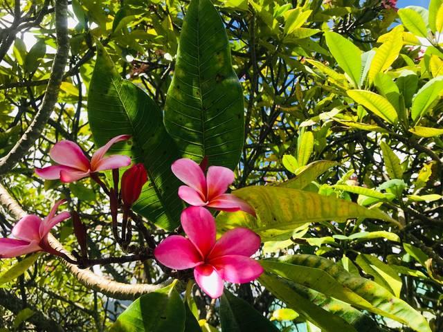 大事な人の幸せを願う花、プルメリアの香りのコスメで癒される