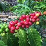 世界3大コーヒー「コナコーヒー」が美味しい理由
