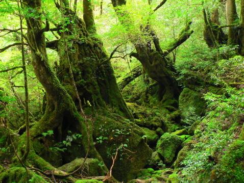 屋久島 - Yakushima Mossy Forest