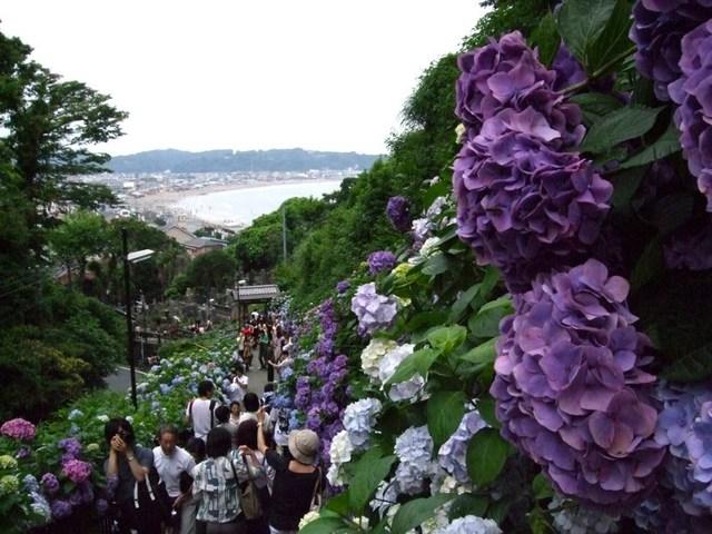 """紫陽花が一面に咲く""""アジサイロード"""""""