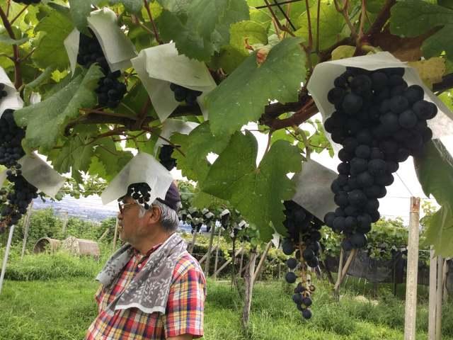 丸藤葡萄酒工業の畑ツアー