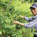 西田町「青いダイヤ」収穫最盛期