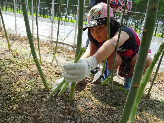 アスパラガスの収穫に挑戦!
