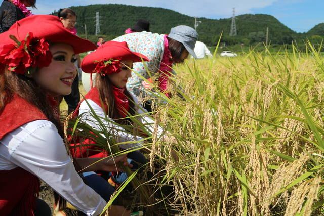 稲刈りを行うフラガールと参加者