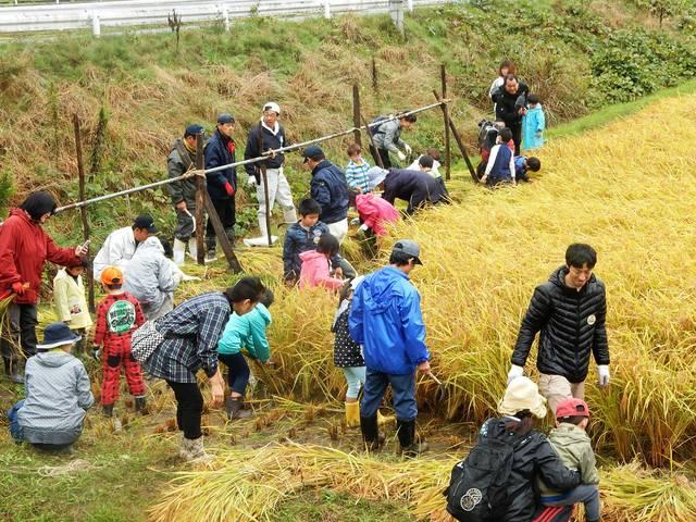 稲刈りを体験する参加者