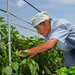 たむらのピーマン収穫最盛期