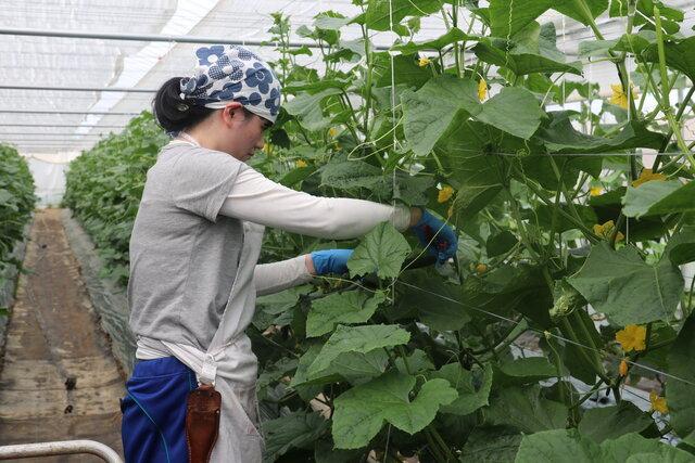 収穫体験をする職員