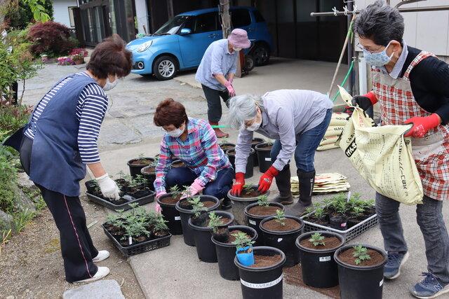 ザルギクの苗を鉢に植え替える参加者ら