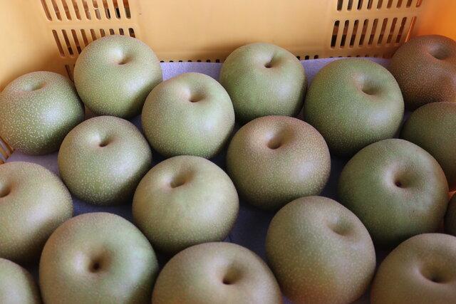選果される梨