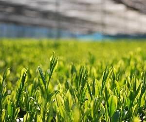 全国茶品評会5年連続入賞・数量限定ギフトセット販売