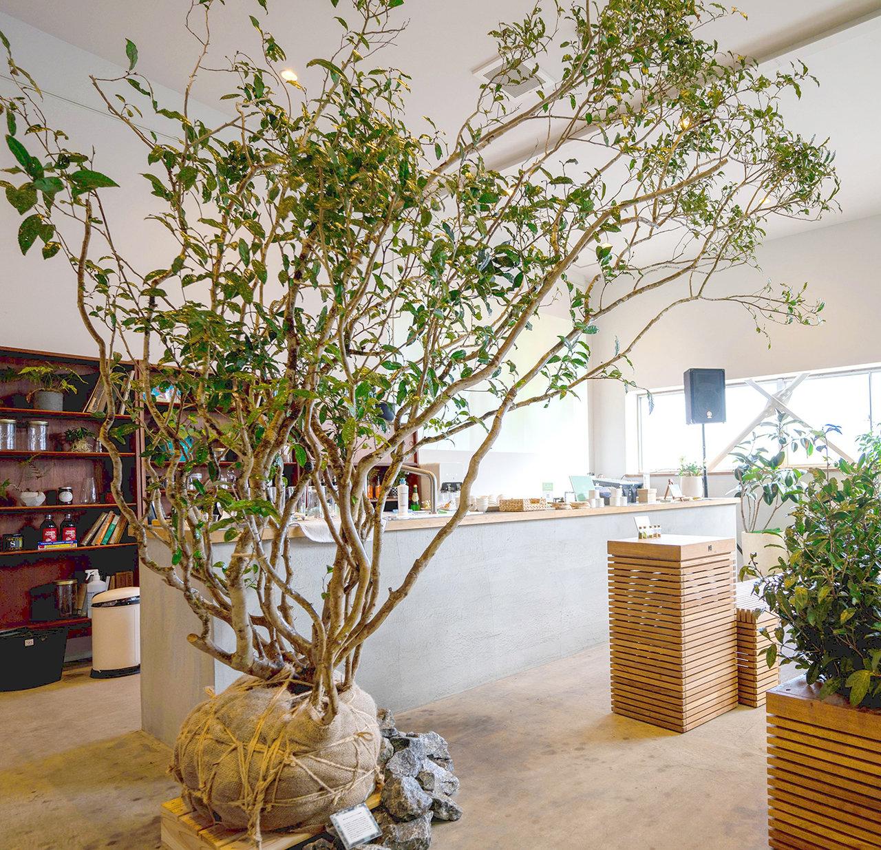 茶文化を一般にまで広めた茶祖・栄西禅師が開山した建仁寺。風神雷神をイメージし、一対のオチャノキを三門前に植樹