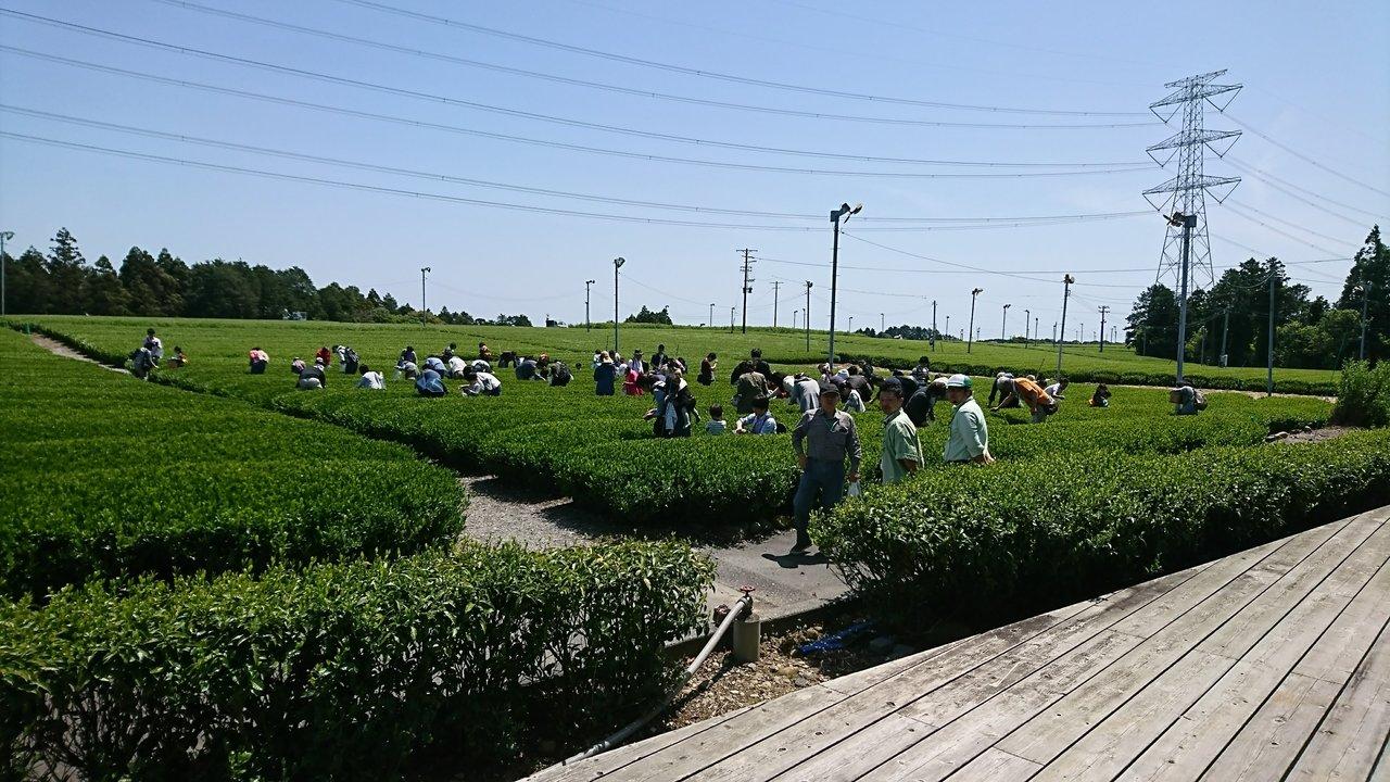 喜作園とななやがコラボ 日本でいちばん早く露地もの新茶をてんぷらに『新茶のお茶摘み体験』開催 シングルオリジン茶の収穫日違いの飲み比べ体験も!