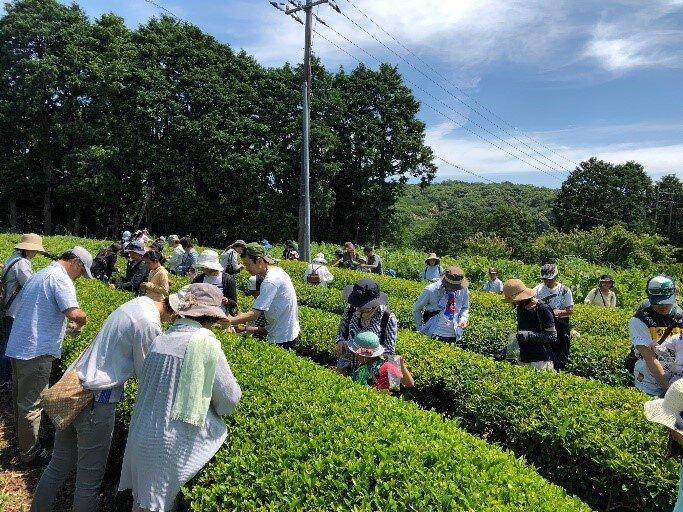 【JAF山口】JAFデー「お茶摘み体験」を開催!