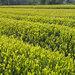 緑茶成分にコロナ不活化効果 ウイルスの細胞感染力を抑制 静岡県環境衛生科学研 あなたの静岡新聞
