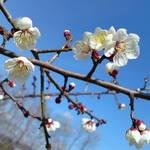 知ってた?日本一の「梅の里」みなべ町、南部梅林