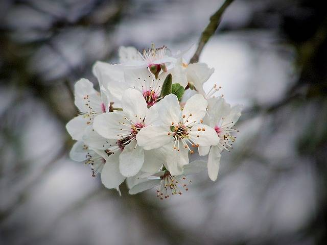 Free photo: Cherry, Cherry Blossom, Flowering - Free Image on Pixabay - 1216721 (599)
