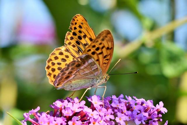 Butterfly Large Fritillary Color - Free photo on Pixabay (36618)