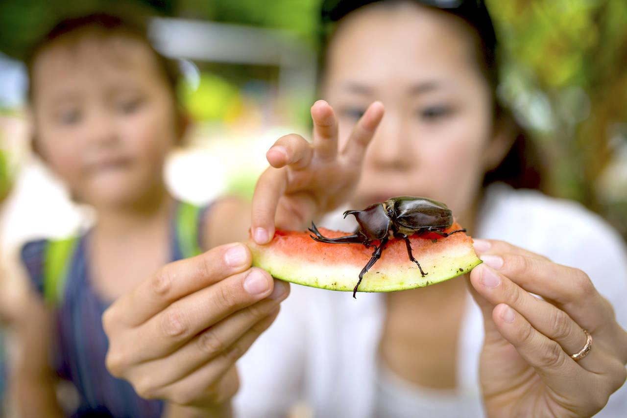 カブトムシを捕まえよう! 採取できる時期や場所と上手な捕まえ方