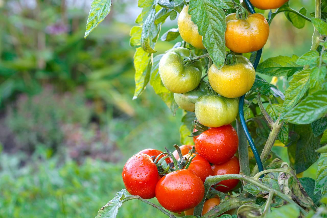 家庭菜園は雨対策もしっかりと!雨対策と雨に強い野菜や草花の紹介
