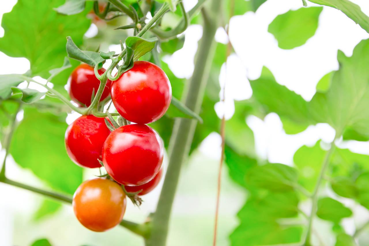 初めての水耕栽培にはトマトが最適!上手な育て方とトラブル対策