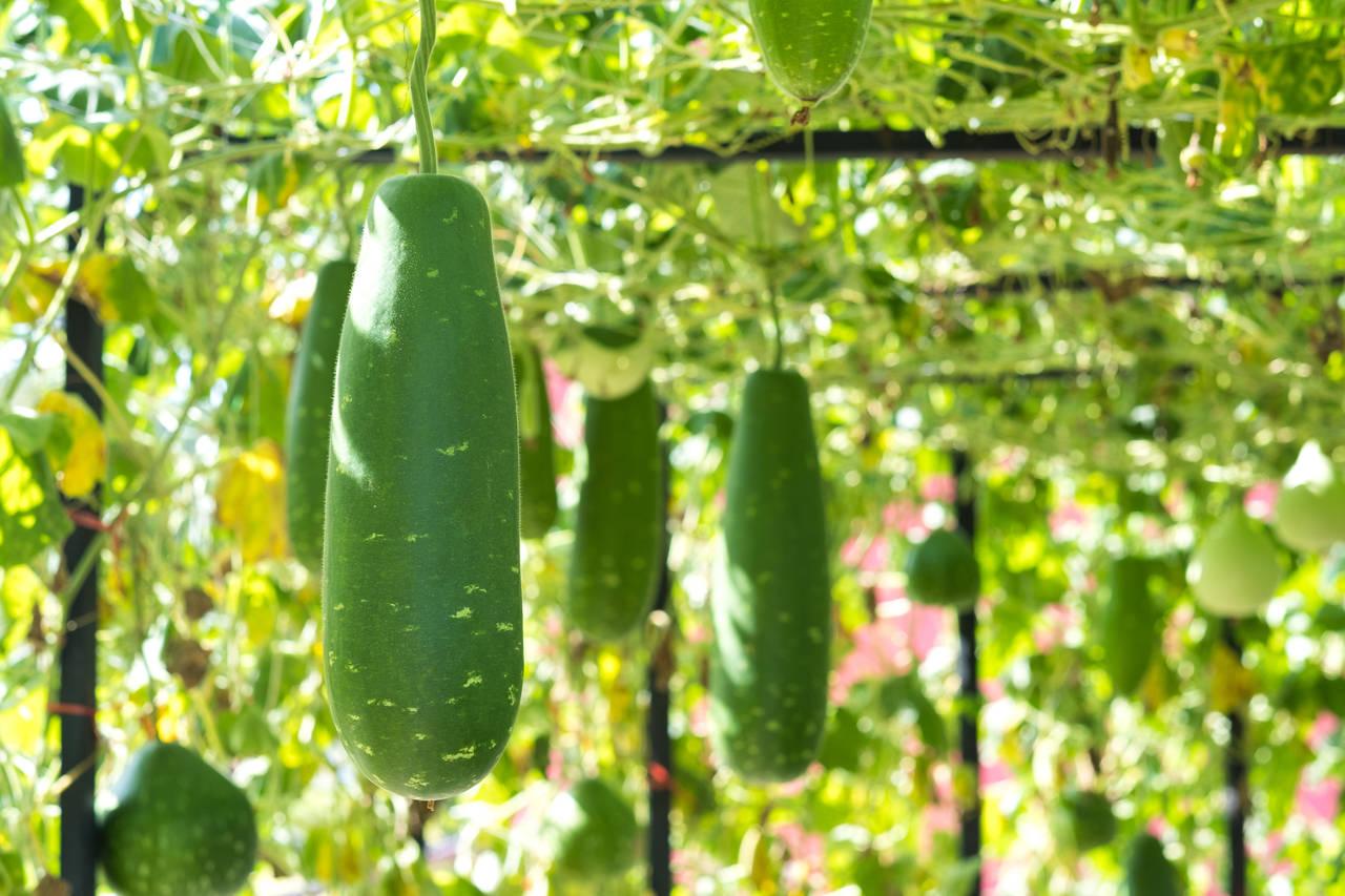 煮ると柔らかい冬瓜で幼児食!冬瓜の基礎知識や美味しいレシピ