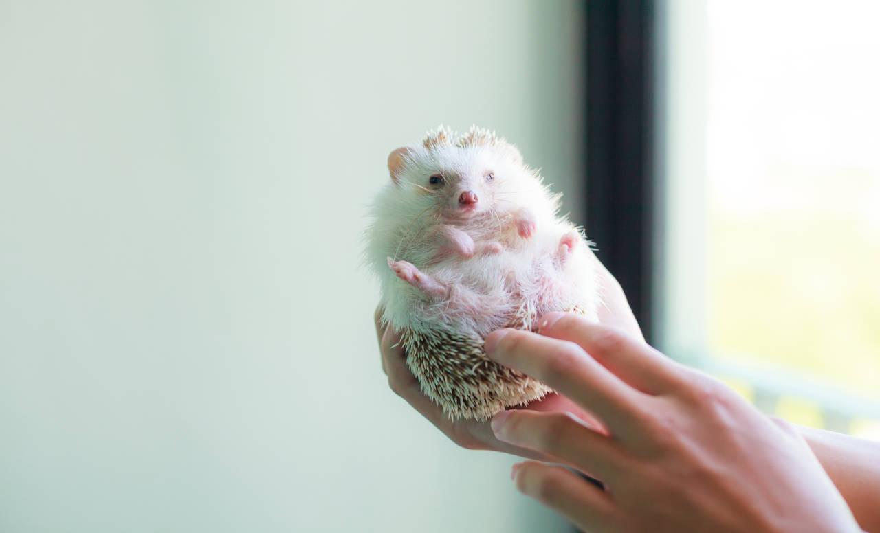 子どもとハリネズミを飼育したい!準備することや飼育時の注意点とは