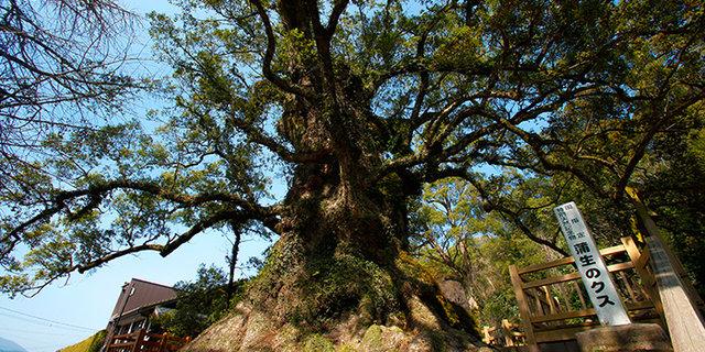 日本一の巨樹「蒲生の大楠」   蒲生八幡神社