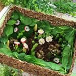 【サプライズレシピ】食べられる芽吹き花壇の作り方 ピクニックレシピ