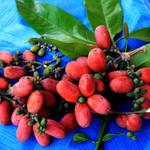 若返り食材!?インドネシア発のアンチエイジング食材「メリンジョ」の成分と効果