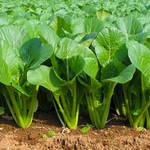 グリーンスムージーにぴったり♪天然のマルチサプリ「小松菜」の美容効果とは