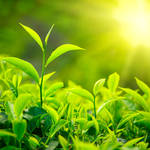 """カテキンの効能は、大昔から立証されていた? 日本人として知っておきたい、""""日本茶""""の歴史。"""