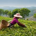 なぜ?味も香りも違うのに同じ茶の木からできる緑茶、紅茶、烏龍茶の謎を解明!