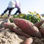 疲れがでてくる秋バテ対策は食事!旬の食材「サツマイモ」レシピで乗り切ろう!