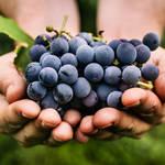 品種の多さは果実ナンバーワン!甘くて熟した食べごろのぶどうの選び方