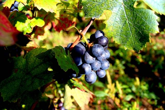Gamay grapes by Sue1454 (15627)