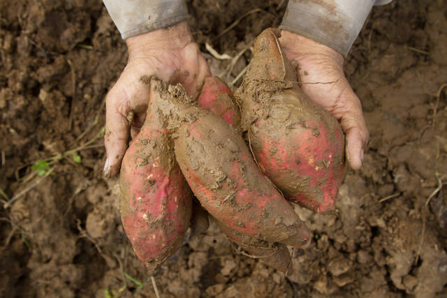 Sweet Potato At Farm On Hand Stock Photo 498278797 : Shutterstock (30524)
