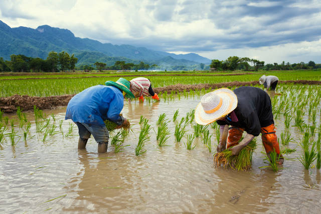 Thai Farmer Collecting Seedlings Of Rice To Planting Stock Photo 474928651 : Shutterstock (30530)