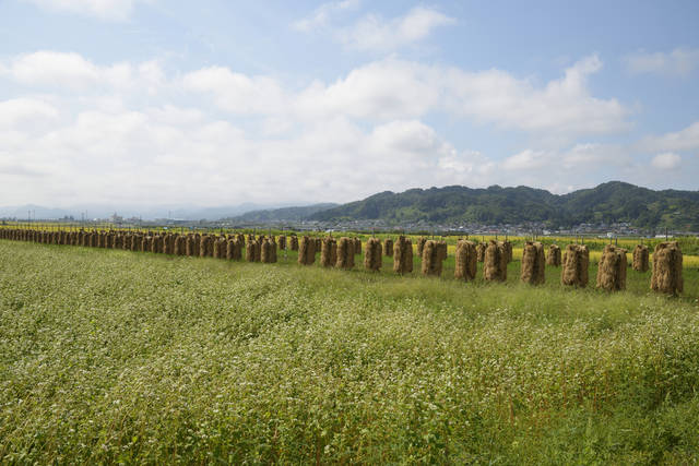 Buckwheat Ricks In Field, Japan Stock Photo 182416157 : Shutterstock (30531)