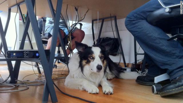 CNN.co.jp : 「オフィス犬」で仕事のストレス軽減? 癒しの存在で士気向上 - (2/3) (4077)